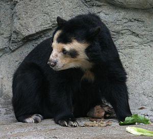1200px-Spectacled_Bear_-_Houston_Zoo