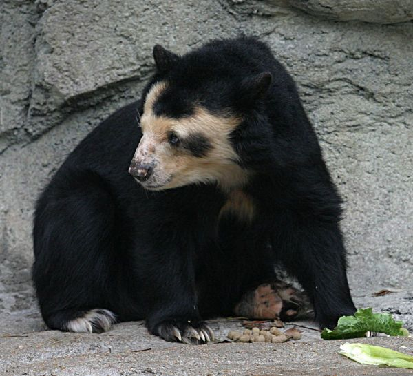 1200px-Spectacled_Bear_-_Houston_Zoo